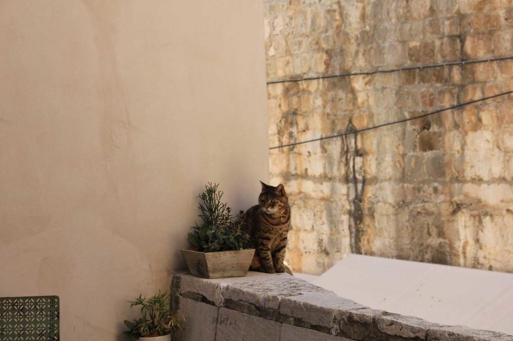 Dubrovnik Old Town Cat (28)