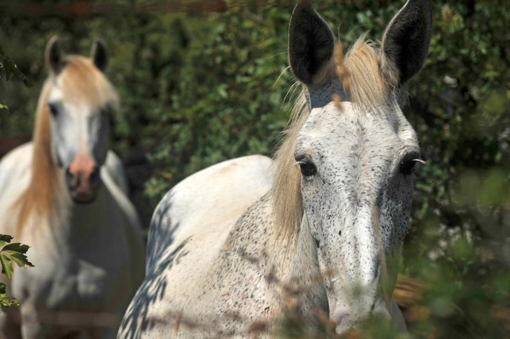 Horses in Konavle, Dubrovnik Riviera, Konavle Tourist Board - WIL_1729