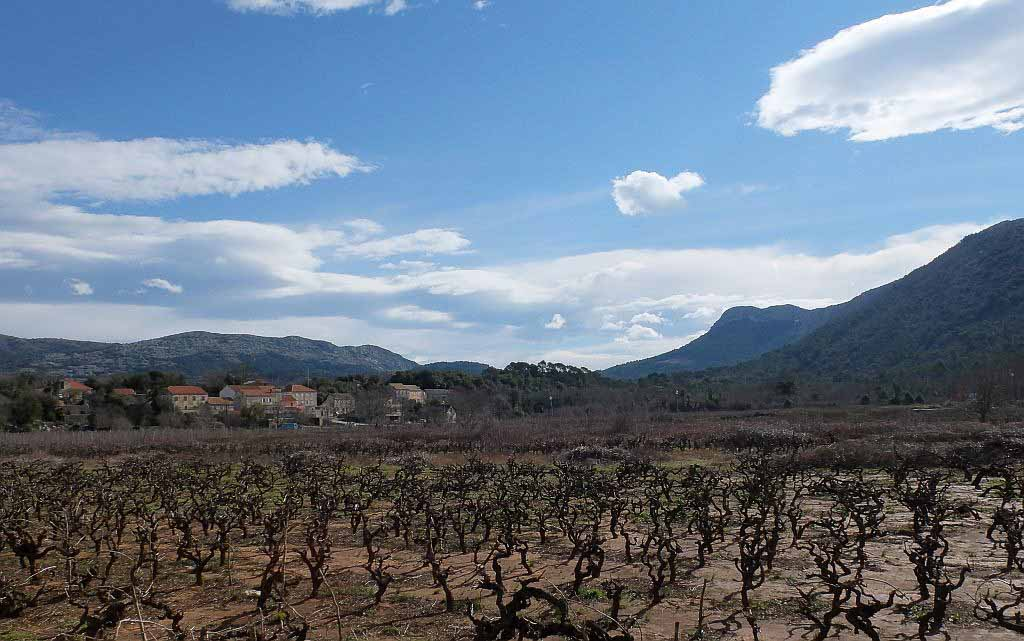 Vineyard, Peljesac Peninsula (2)