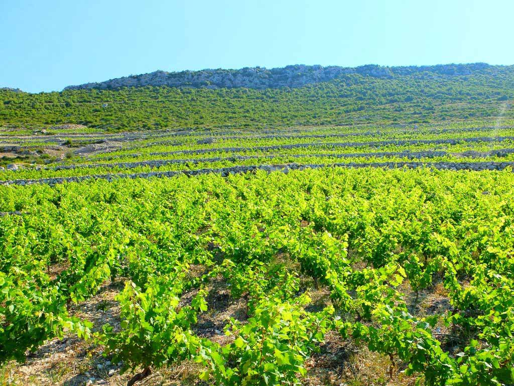 Vineyards, Peljesac Peninsula, Dubrovnik Wine Tour (1)